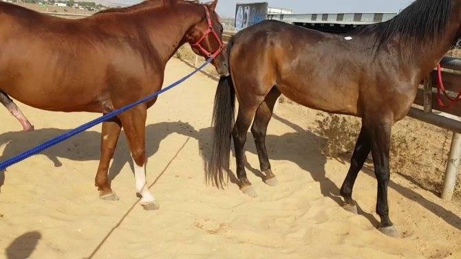 Беременность у лошадей: признаки, уход и содержание жеребых кобыл