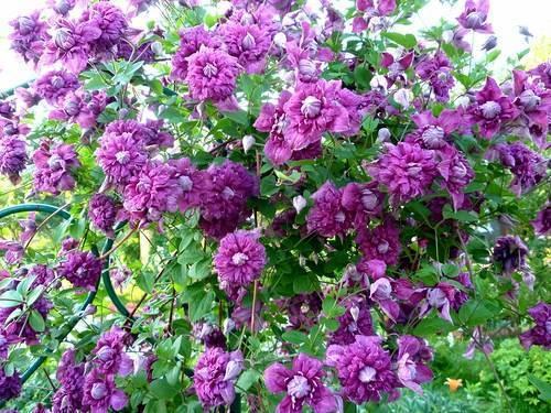 Клематис пурпуреа плена элеганс — подробное описание сорта