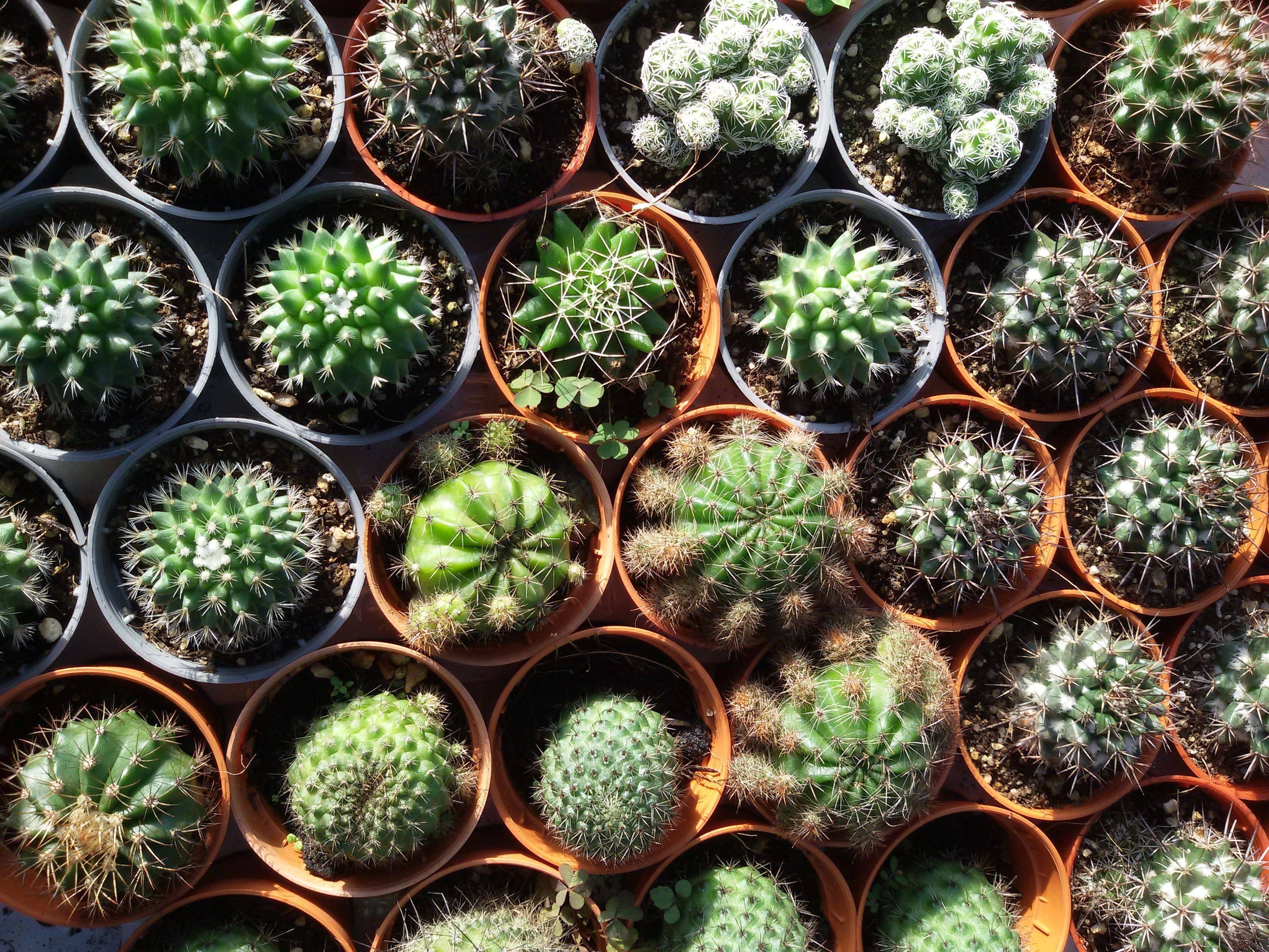 Нотокактус: название, описание, фото видов кактуса, уход в домашних условиях