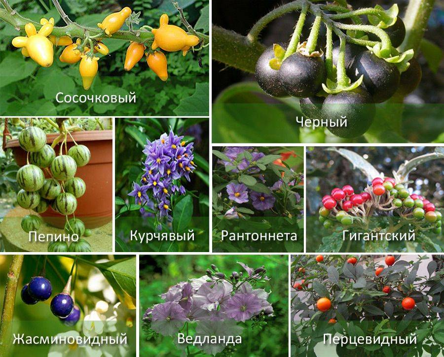 ᐉ растение паслен: уход в домашних условиях, фото и виды, выращивание из семян - roza-zanoza.ru