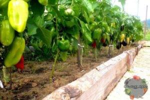Можно ли сажать помидоры и баклажаны в одной теплице