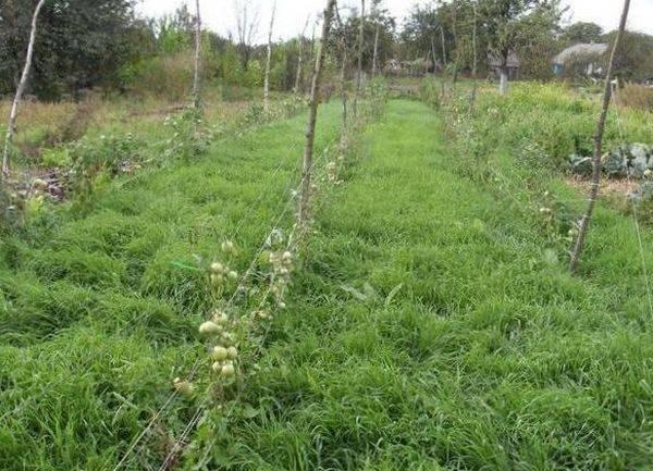 Сидераты в теплице весной под томаты
