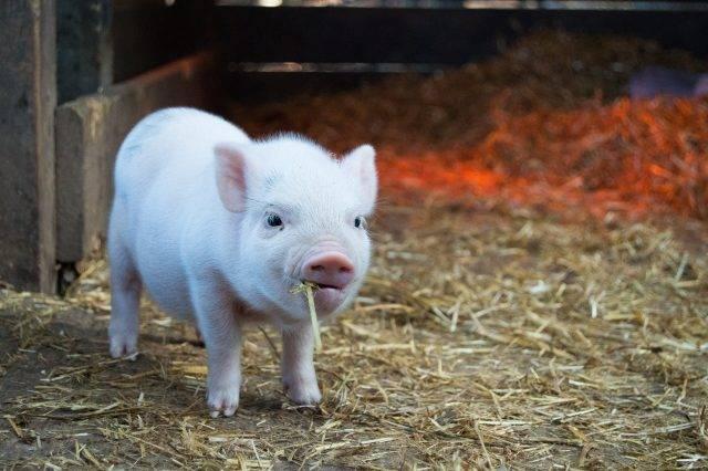 Какие бывают методы чистого разведения свиней?   cельхозпортал
