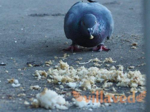 Сальмонеллез — инфекционное заболевание у голубей. характеризуется расстройством пищеварения, смертельно для птицы