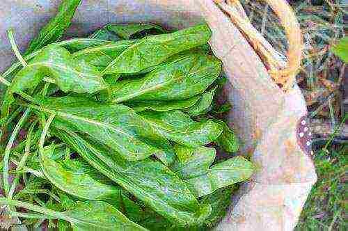Щавель: выращивание и уход от посева семян до сбора урожая
