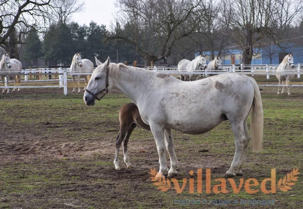 Фалабелла — описание и фото лошади | мои лошадки