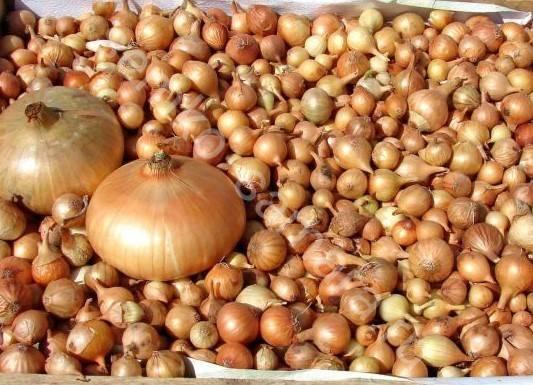 """Лук """"шетана"""": описание и фото сорта, вкусовые характеристики, посадка семенами и севком, уход, сбор урожая, болезни и вредители"""