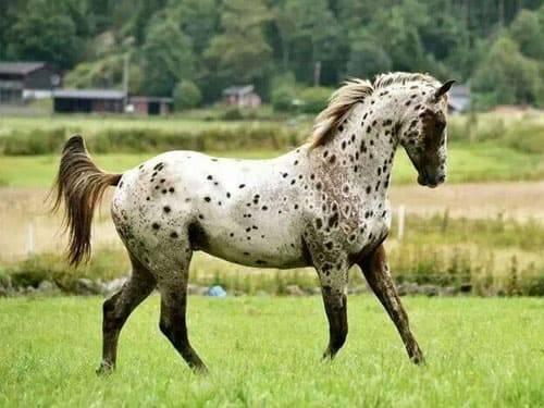 Аппалуза (лошадь): описание породы, фото