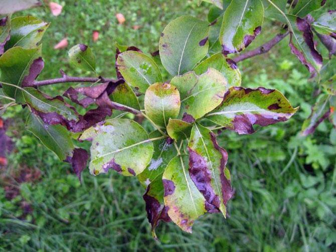 Парша яблони: профилактика, методы лечения болезни
