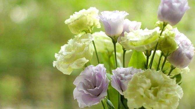 Цветок эустома (лизиантус) (100 фото) – посадка и уход в домашних условиях. необыкновенное растение в вашем саду +отзывы