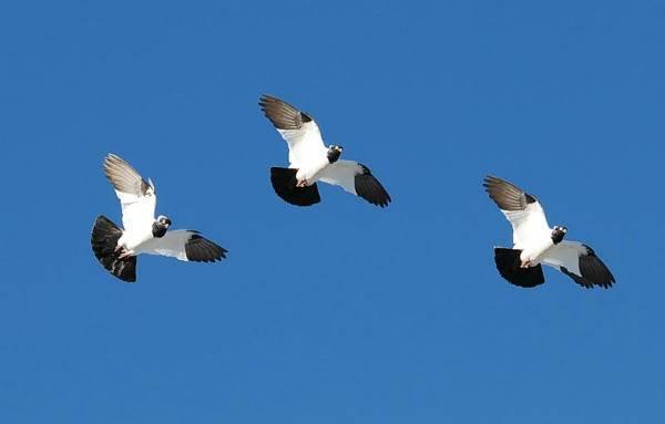 Крестовые монахи — благородные представители немецкой породы голубей