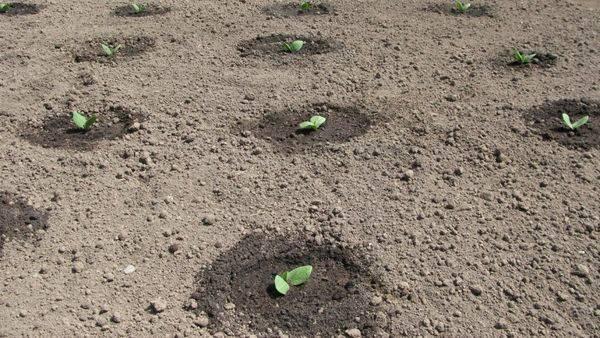 Выращивание кабачков — как вырастить кабачки на рассаду из семян и в открытом грунте