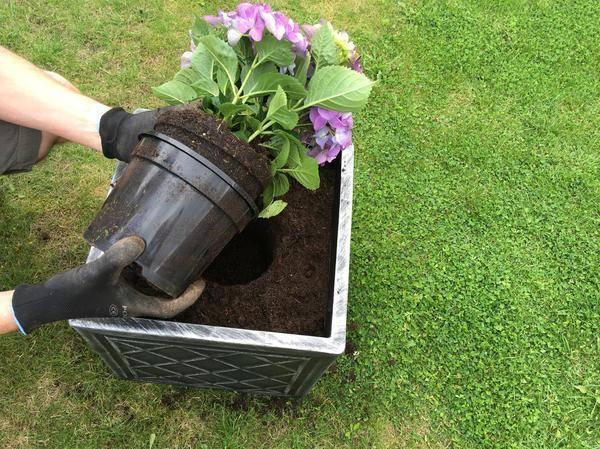 Как сажать гортензию осенью в открытый грунт правила выращивания