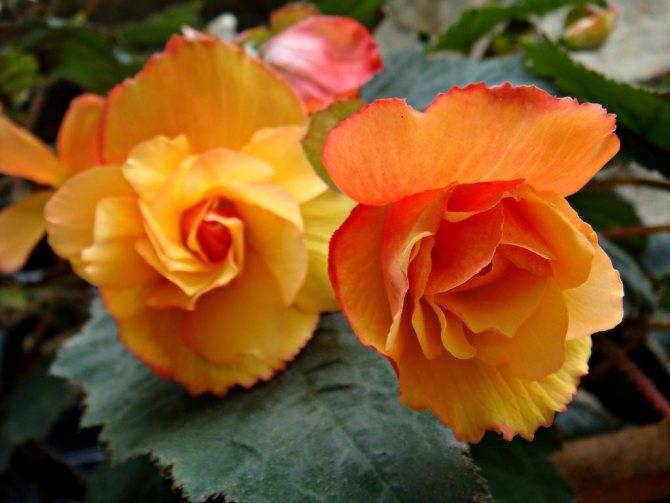 Бегония (begonia). жизненный цикл, виды, уход.
