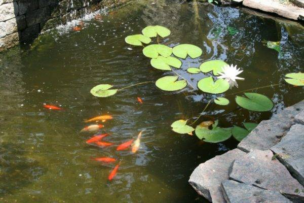Отличные советы по оформлению пруда на даче растениями