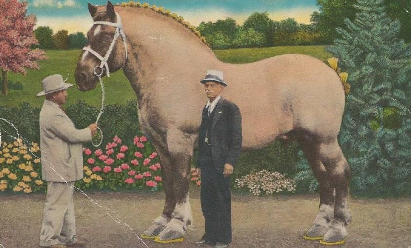 Самая большая лошадь в мире фото