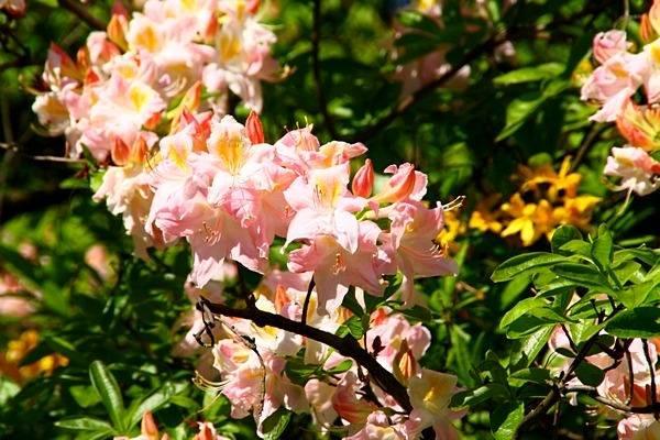 Рододендрон даурский: посадка, уход, отзывы, описание, фото