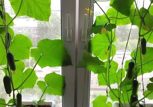 Легкий способ как вырастить огурцы на подоконнике или балконе