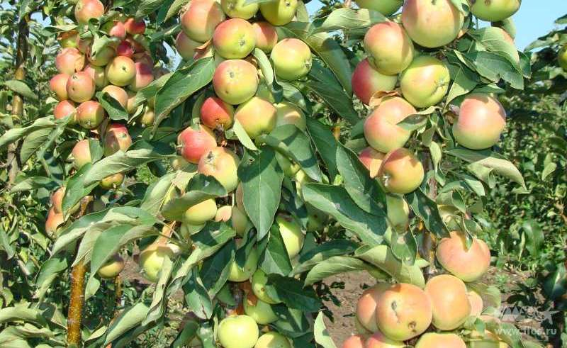 Яблони для сибири: лучшие сорта с фото, названием и описанием