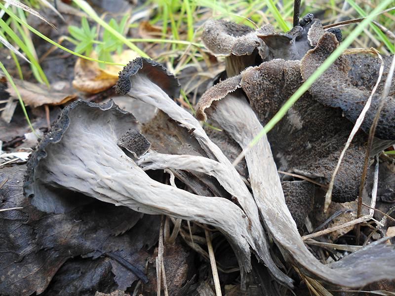 Вороночник рожковидный или воронковидный: рецепты, фото, описание, лечебные свойства, польза и вред гриба