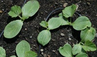 Как вырастить тыкву правильно или почему не у всех дачников удачный урожай