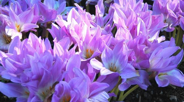 Безвременник осенний: описание растения, посадка необычного цветка, фото
