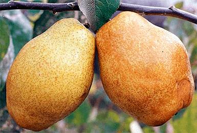 Груша киффер: описание сорта, особенности, урожайность и отзывы