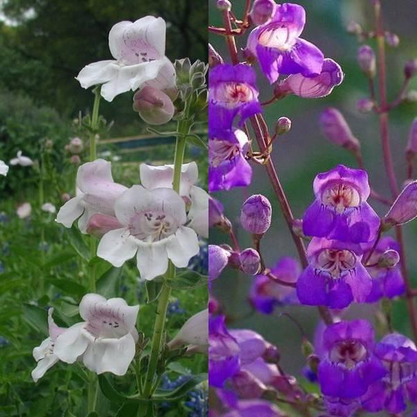 Пенстемон: фото и сорта, выращивание и уход за растением