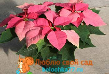 Пуансеттия — главное комнатное растение зимы. уход в домашних условиях. фото — ботаничка.ru