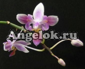 Виды и сорта орхидеи фаленопсис с фото и названиями