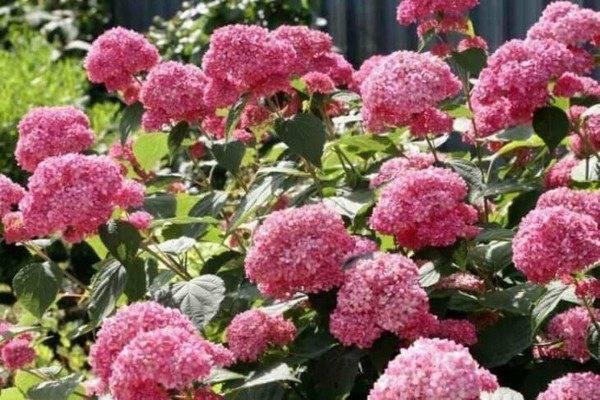 Гортензия: выращиваем в сибири, посадка и уход в открытом грунте