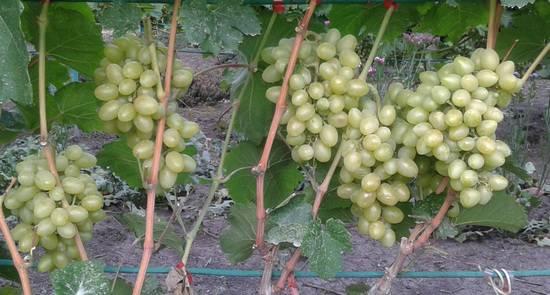 Описание сорта винограда продюсер: фото и отзывы | vinograd-loza
