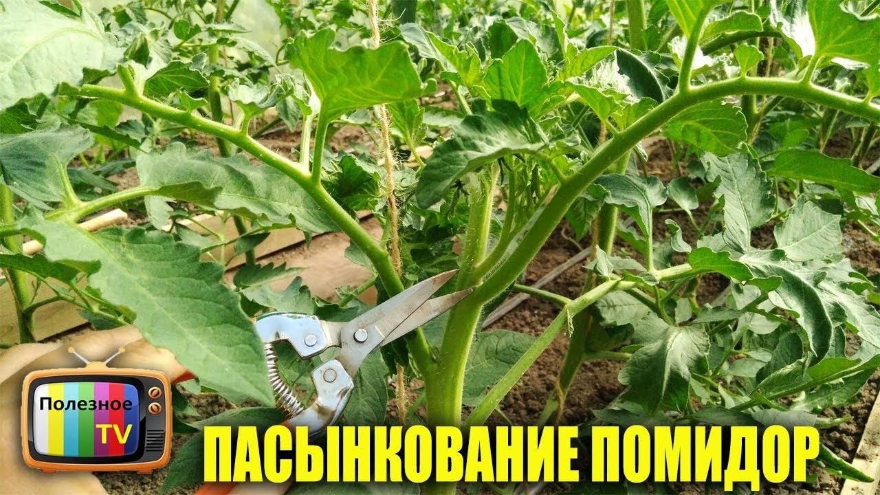Как прищипывать помидоры правильно? пошаговая инструкция пасынкования в открытом грунте для начинающих (115 фото)