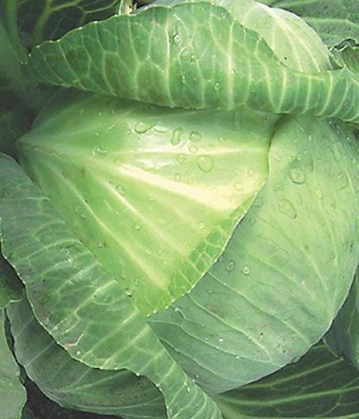 Капуста прайверд f1: правила выращивания, отзывы с фото, посадка, описание белокочанного сорта