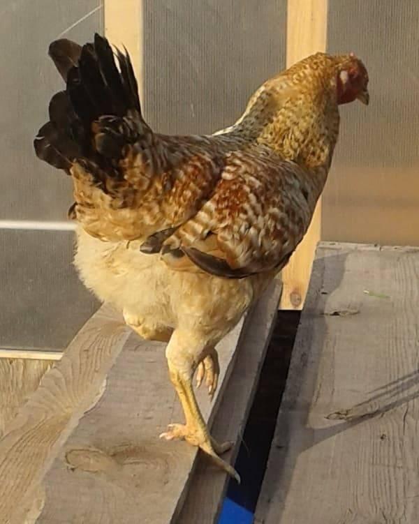 Царскосельские куры – универсальная мясо-яичная порода, выведенная отечественными селекционерами