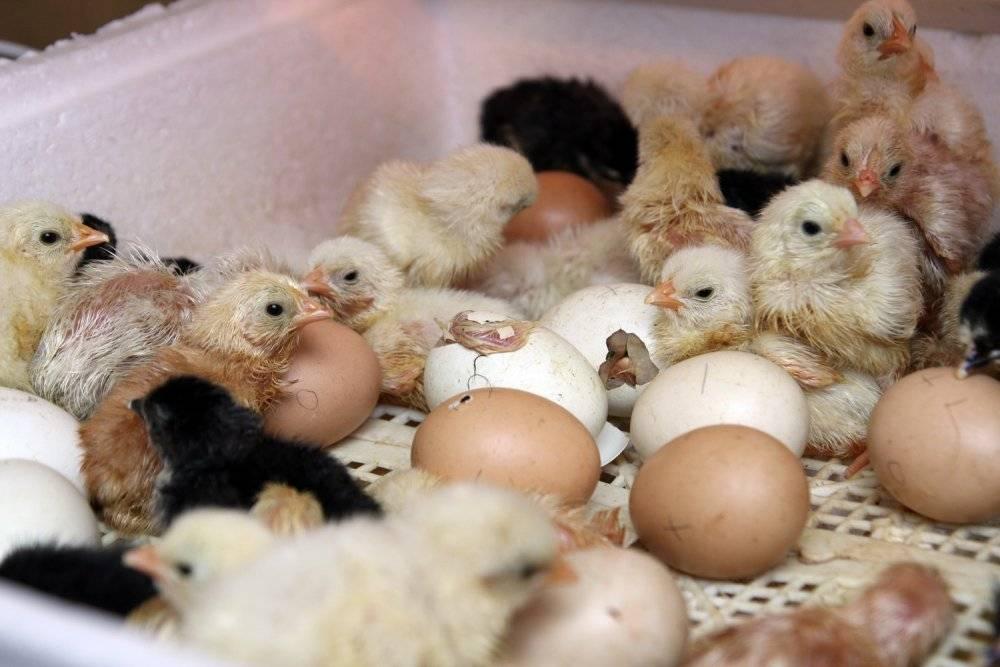Выращивание цыплят в домашних условиях: уход и кормление для начинающих, здоровые суточные несушки, разведение после инкубатора, птенцы ломан браун selo.guru — интернет портал о сельском хозяйстве