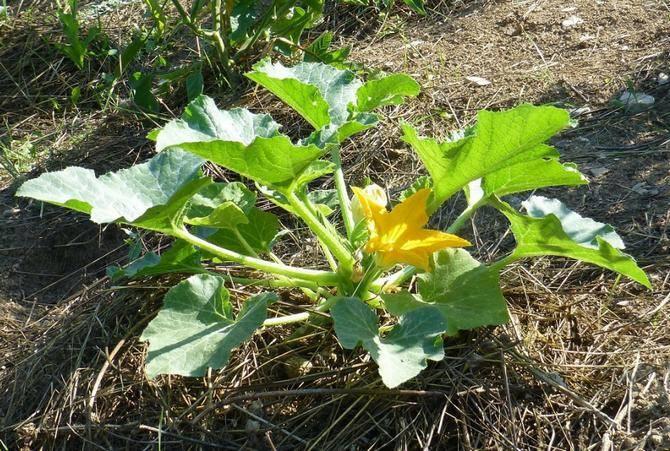 Как выращивать патиссоны в открытом грунте из семян и через рассаду
