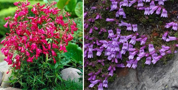 Пенстемон - фото, посадка, выращивание из семян, описание цветка