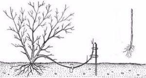 Посадка, уход и выращивание дерева фундука для начинающих садоводов