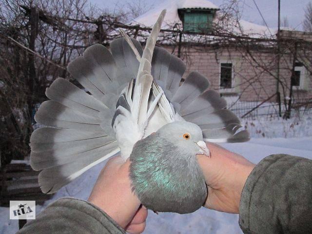 Голуби гривуны: фото, описание породы, характеристика