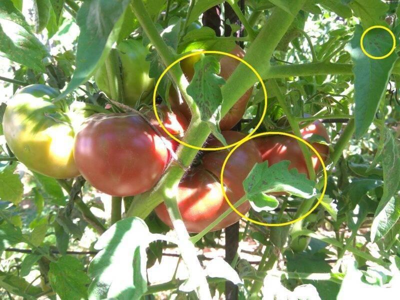 Чем обработать помидоры от фитофторы: народные средства и химия