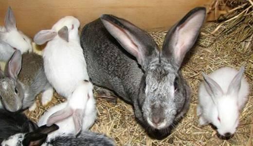 Содержание кроликов - описание ухода от а до я и бизнес-план разведения в домашних условиях