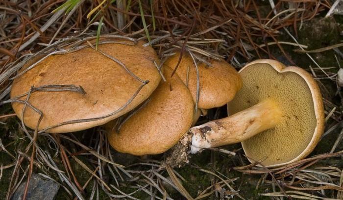 Описание и полезные свойства гриба козляк козленок решетник