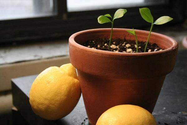 Неприхотливый и оригинальный лимон мейера: уход и разведение