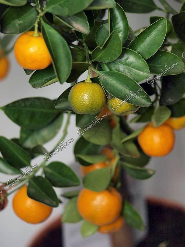 Цитрусовые: описание,удобрение,подкормка. | растюнька