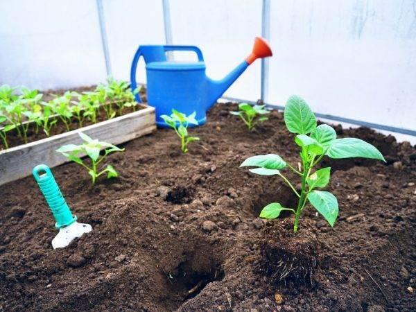 Как посадить перец в грунт: технология и правила, видео и фото