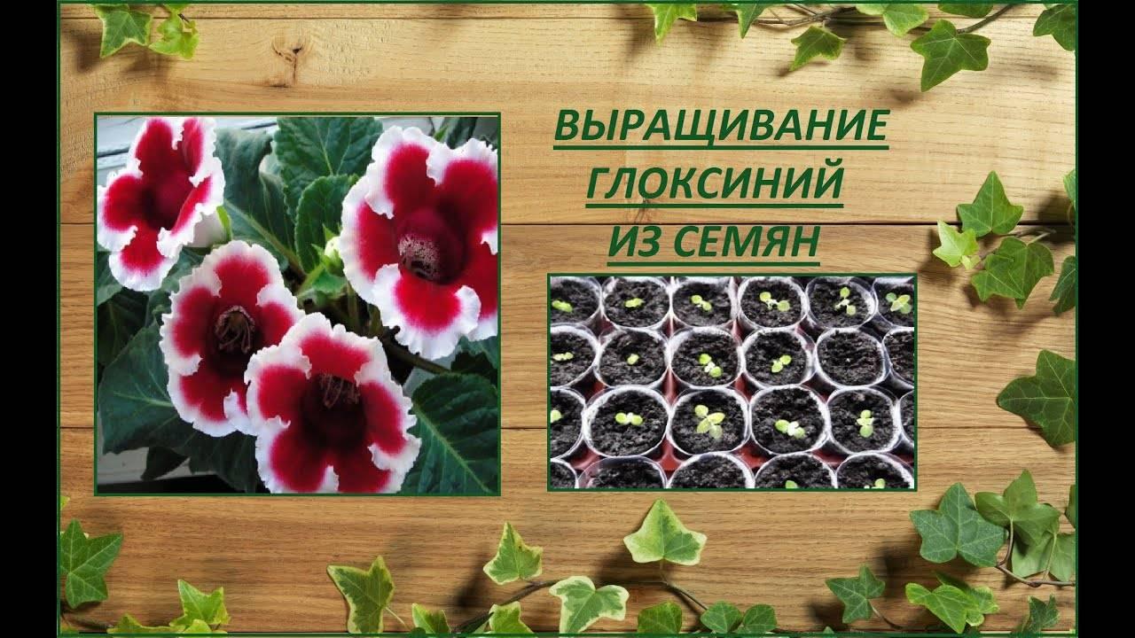 Все секреты выращивания глоксинии или синнингии в квартире: фото, сорта, мастер-класс на supersadovnik.ru