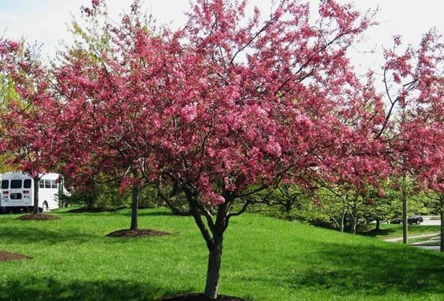 Декоративные яблони: сорта с красными листьями и розовыми цветами