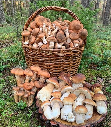 Как собирать грибы – советы для начинающих грибников   megapoisk.com