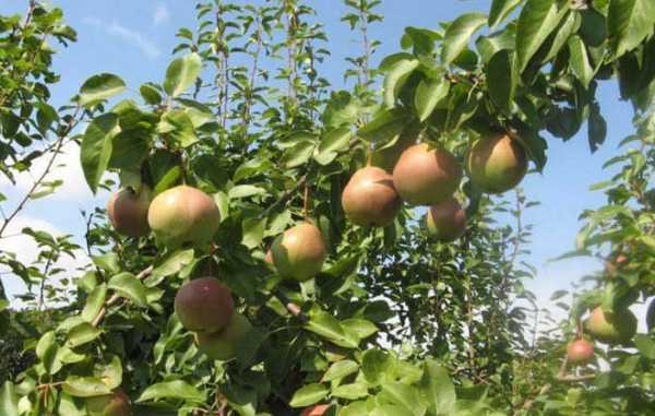 Выращивание сортов груш для Черноземья